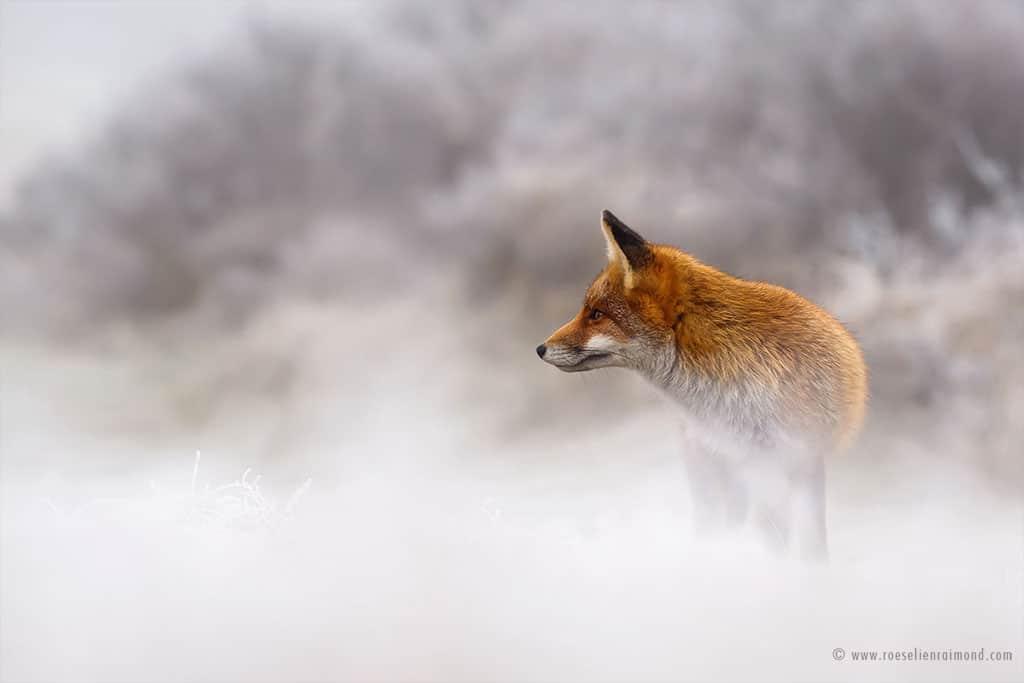 red fox photos snow roeselien raimond fy 8
