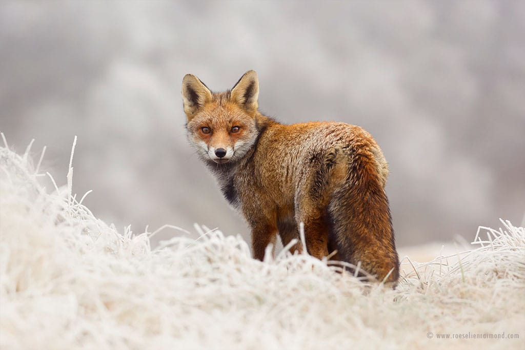red fox photos snow roeselien raimond fy 9