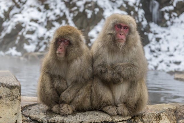 Snow Monkeys of Jigokundani, Japan