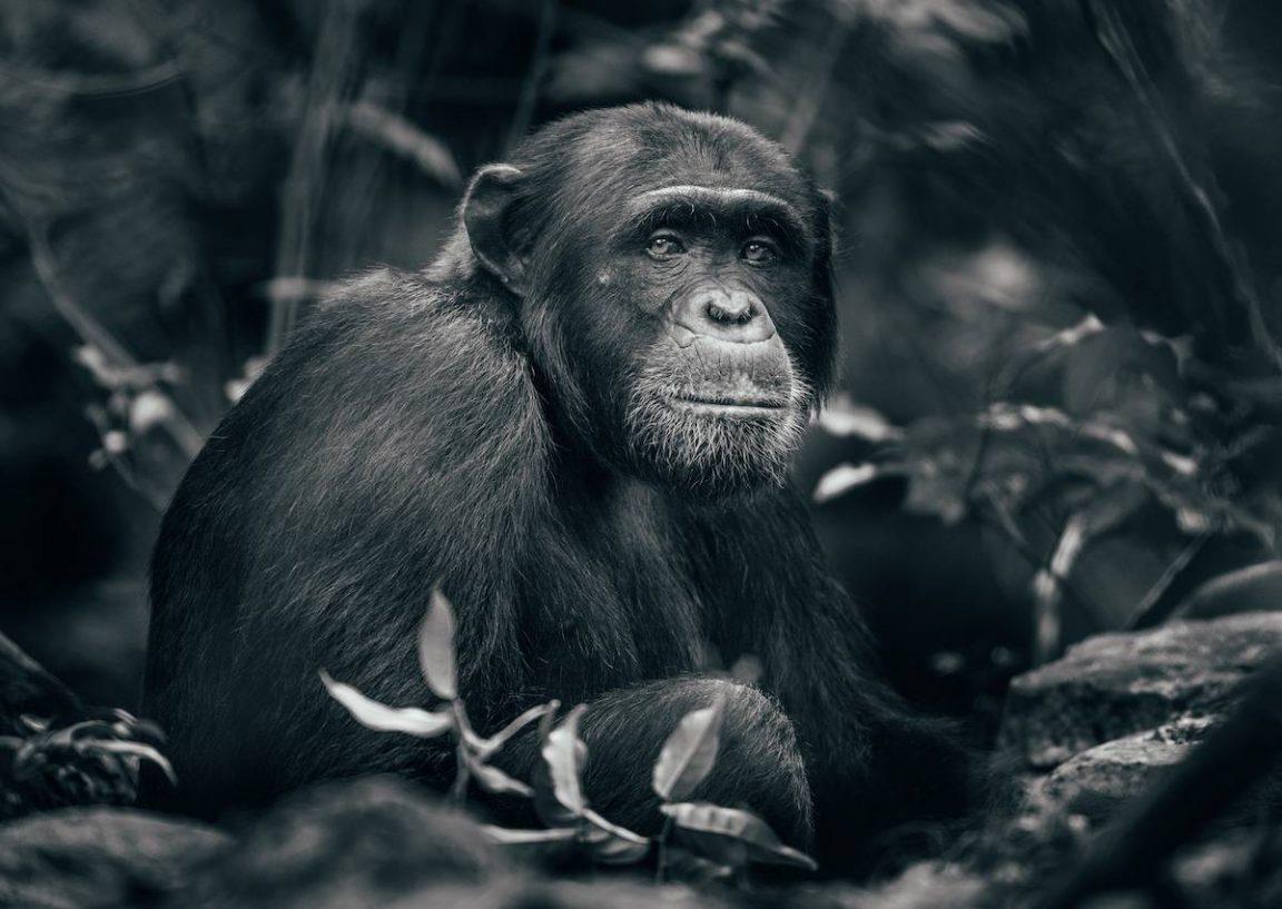 george turner rubondo island chimpanzee 5