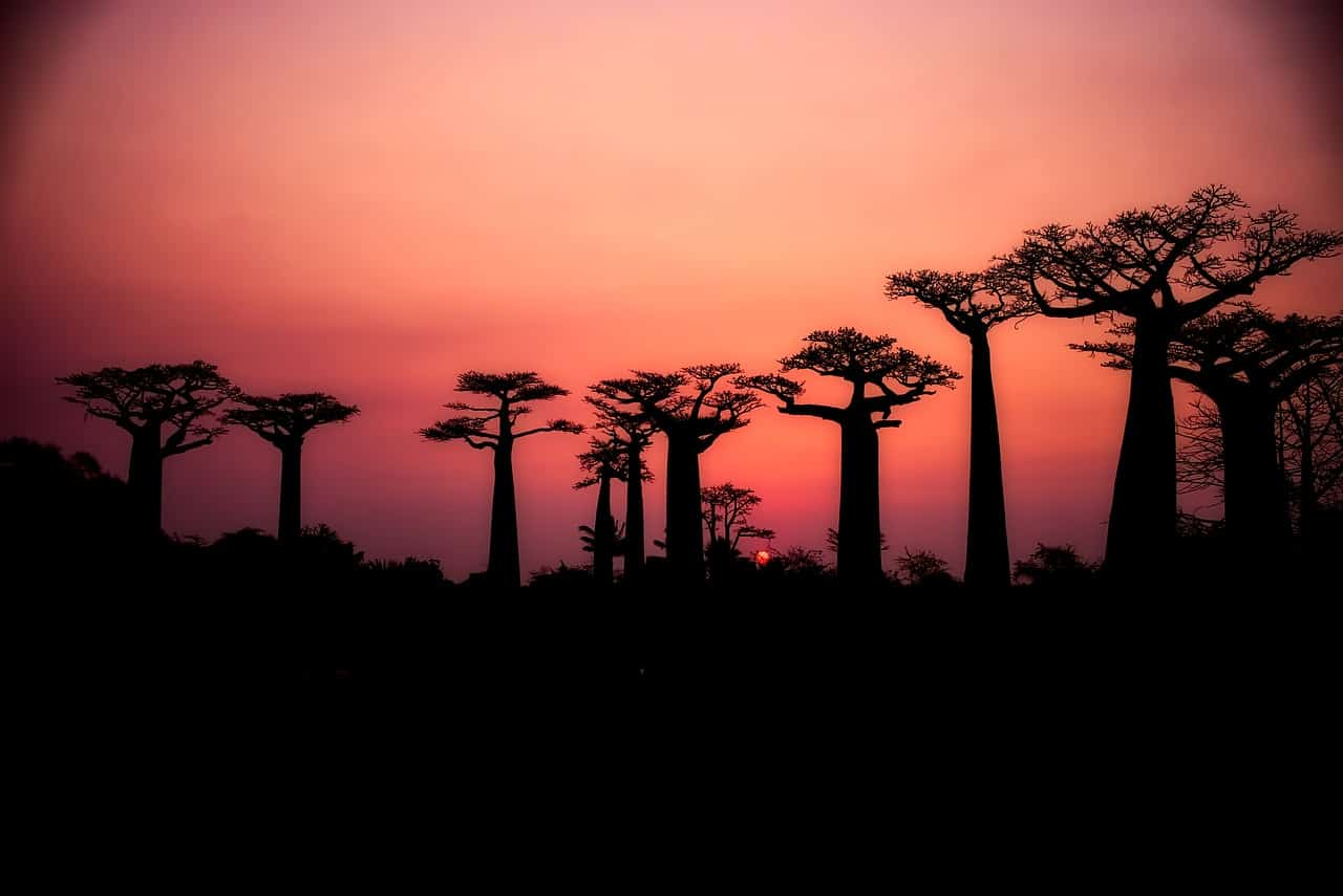 baobabs 2708289 1280