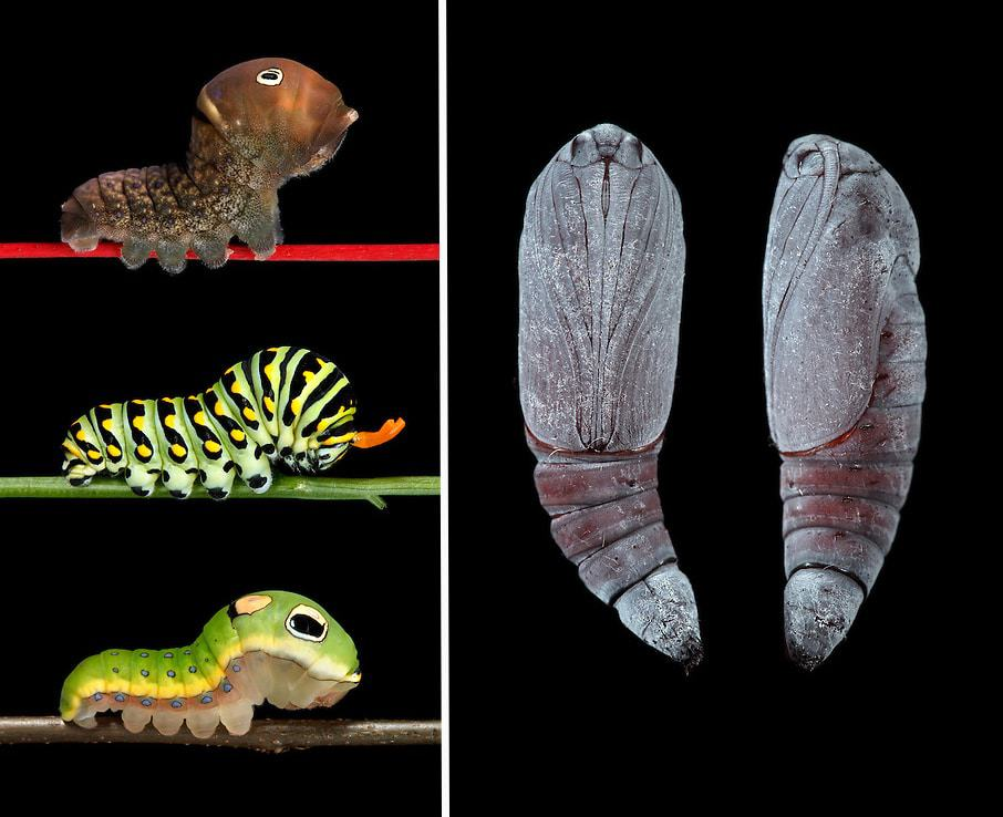 """Left: """"Three Swallowtails"""" – Papilio glaucus, polyxenes, and troilus 