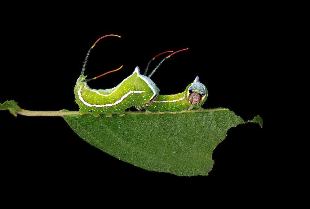Black-etched Puss Moth Caterpillar on Willow Leaf