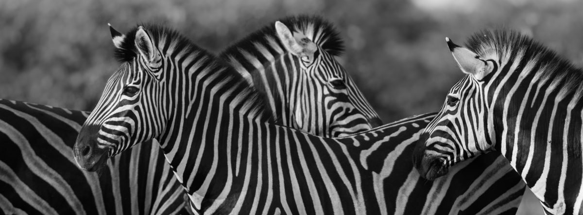 three common zebra grooming in black and white RKDYC4V