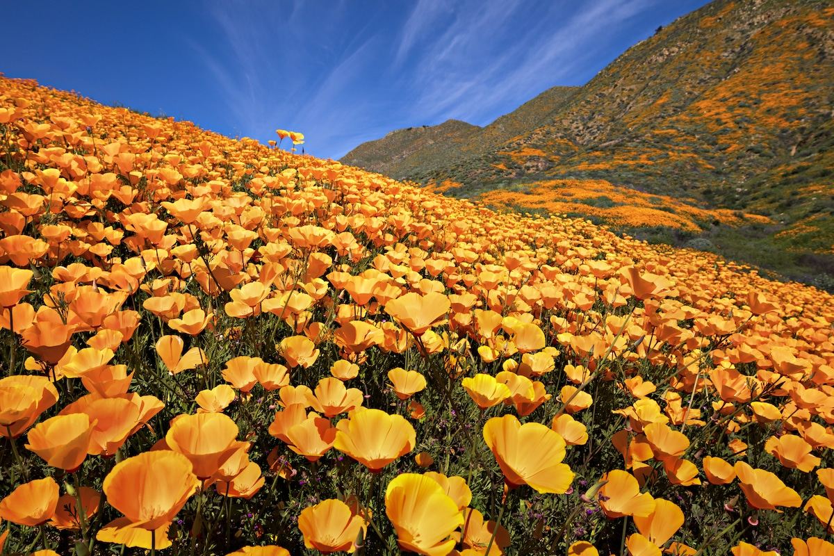 superbloom poppies california