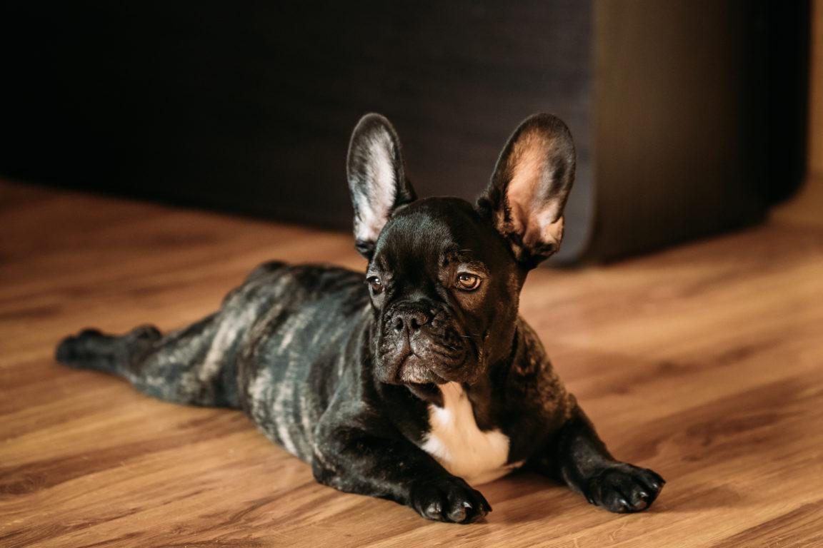 young black french bulldog dog puppy sit on lamina PSF4ZRM