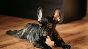 young black french bulldog dog puppy sit on lamina PSF4ZRM