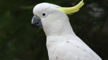 white Cockatoos