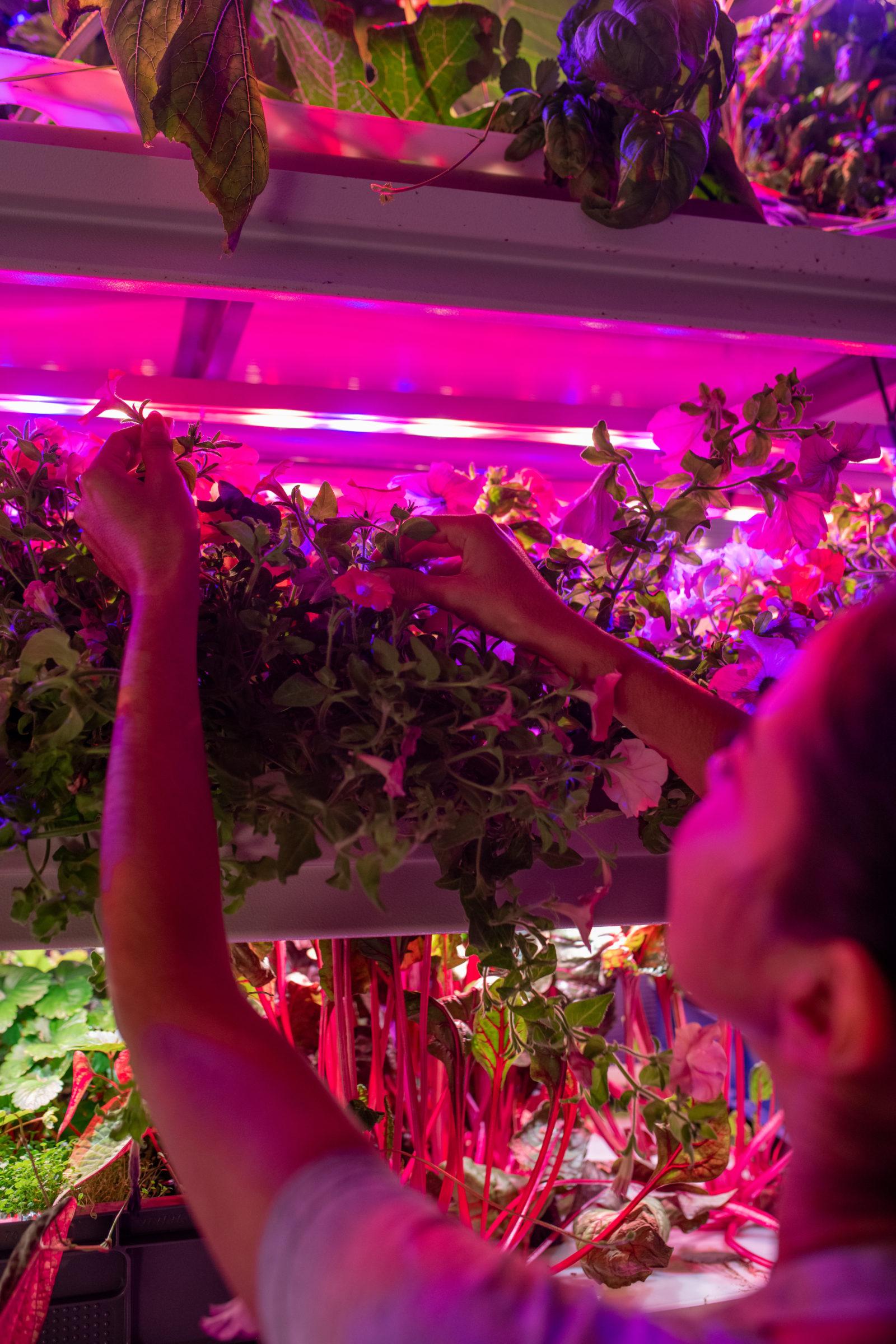 raising plants under led lamps BGB4X7J