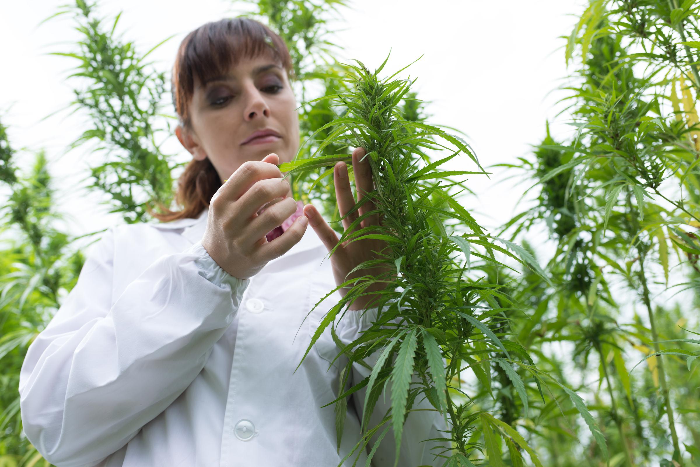 scientist checking hemp flowers PSS7R6U