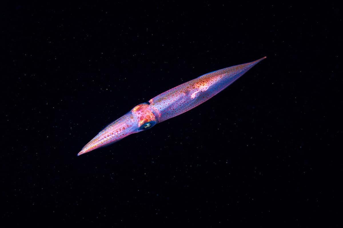 Alexander Semenov underwater photography Cephalopoda Lolligo vulgaris