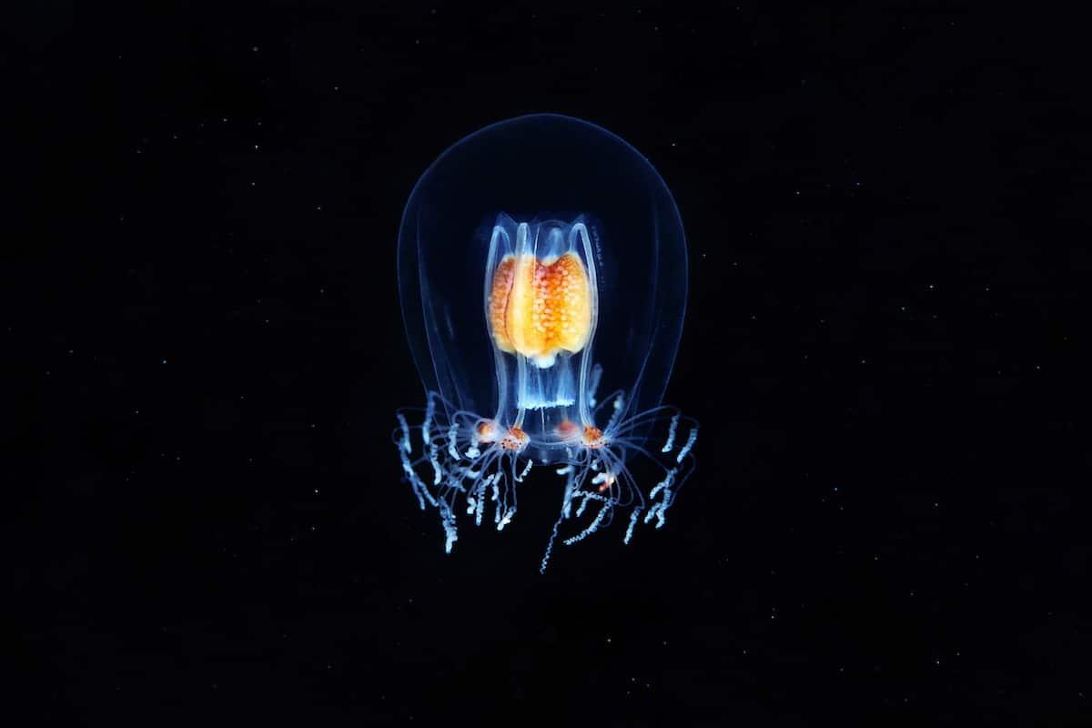 Alexander Semenov underwater photography Hydrozoan jellyfish Bougainvillia superciliaris 1