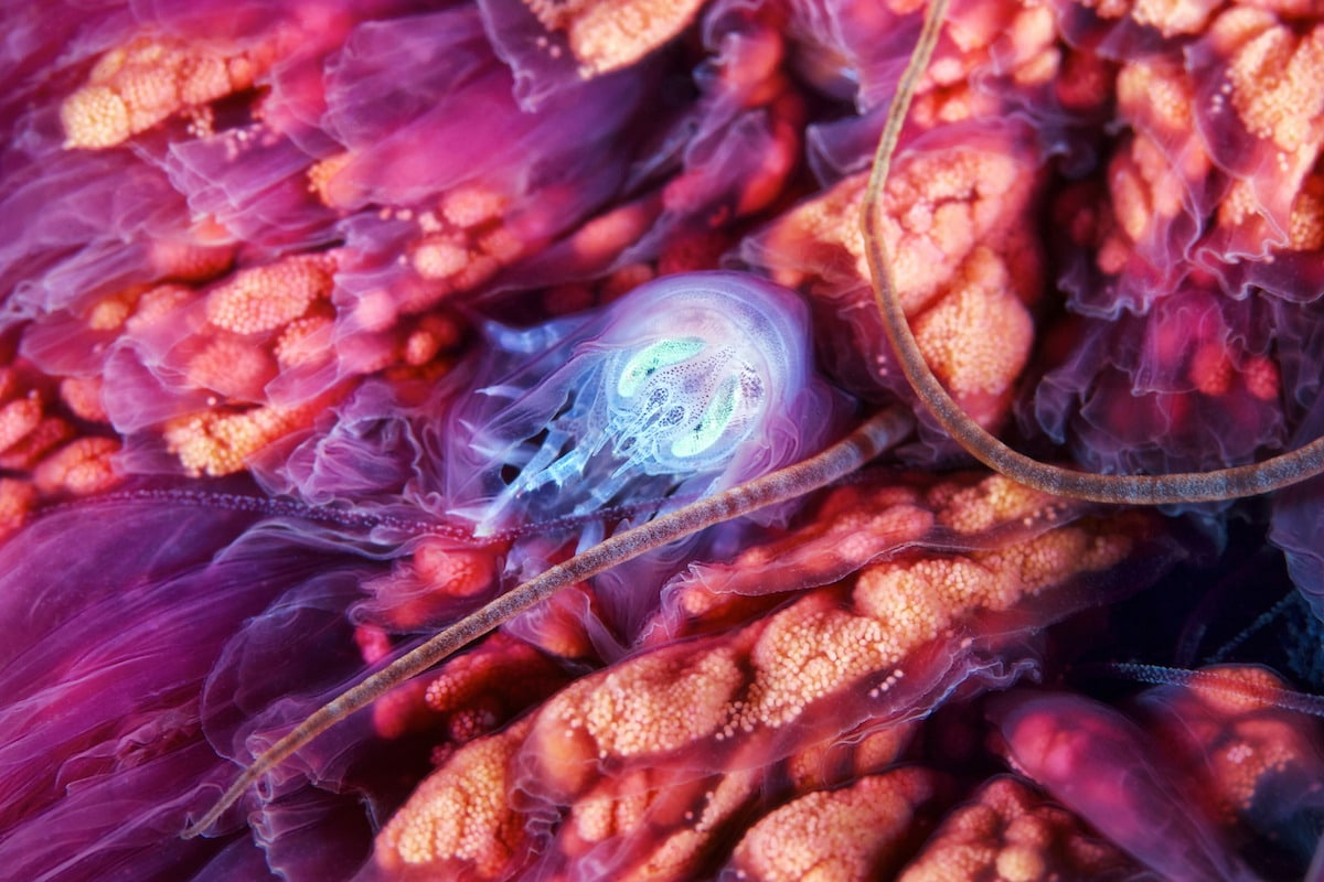 Alexander Semenov underwater photography Hyperia galba inside Cyanea