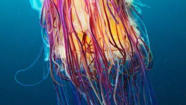 Alexander Semenov underwater photography Scyphozoan jellyfish Lions mane jellyfish Cyanea capillata 05