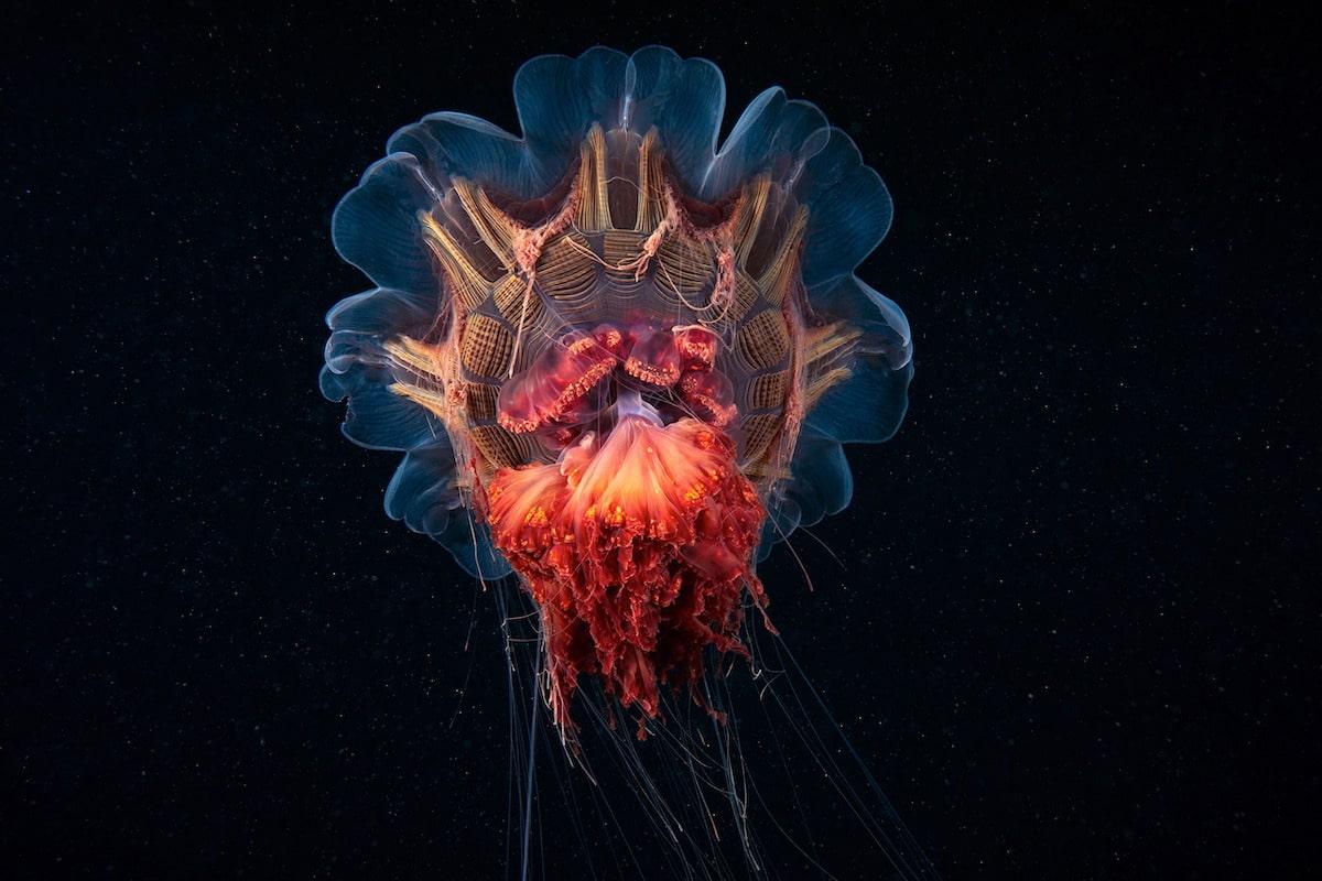 Alexander Semenov underwater photography Scyphozoan jellyfish Lions mane jellyfish Cyanea capillata 11
