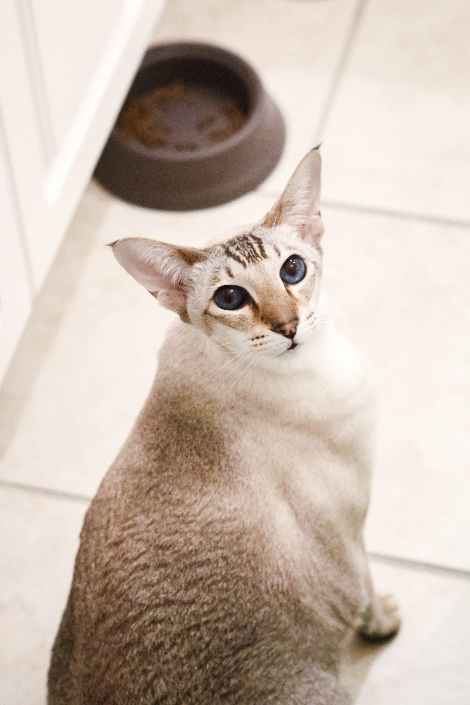 cute adorable home domestic animal oriental cat wi KV6VK9F