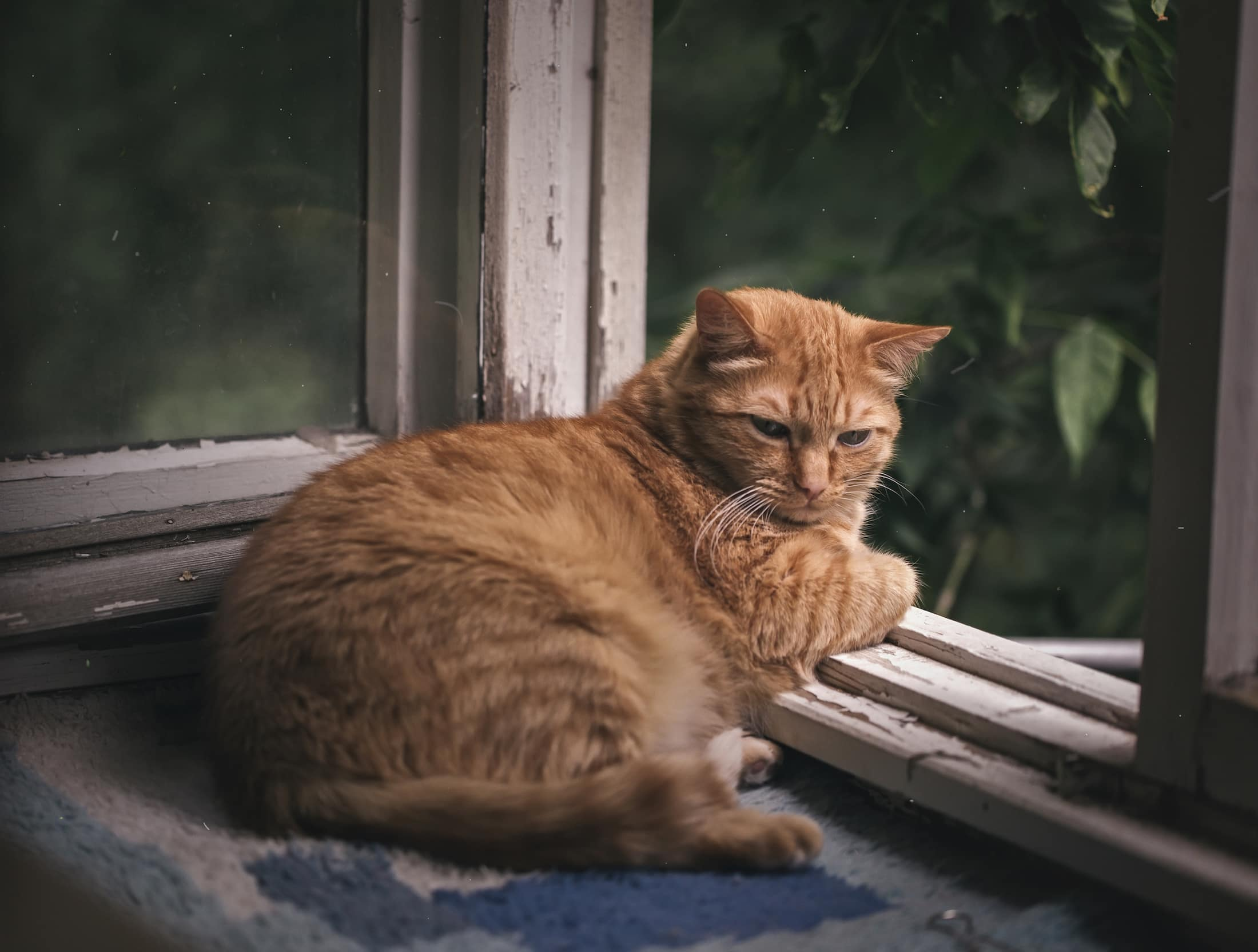 Ginger cat relaxing on a balcony, domestic cat