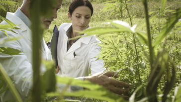 researchers checking hemp plants in the field 87P53YW