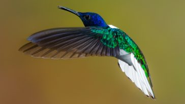 flying blue and green hummingbird