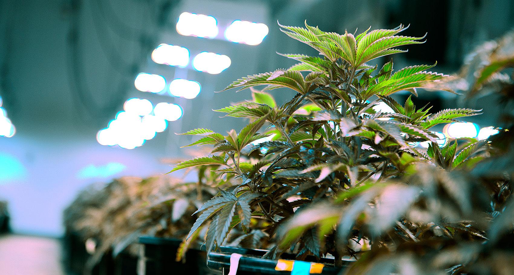 0619 marijuana06