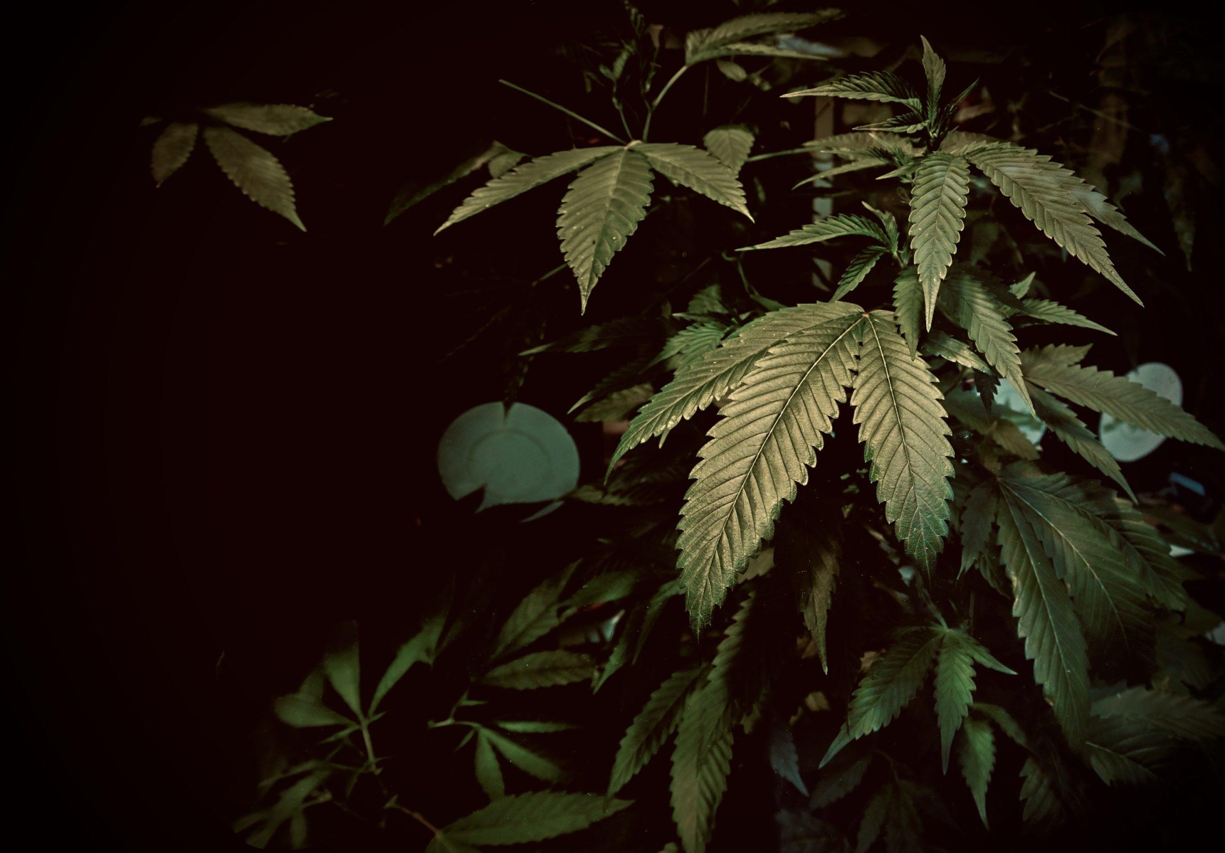 chiaroscuro cannabis YCKLFFB