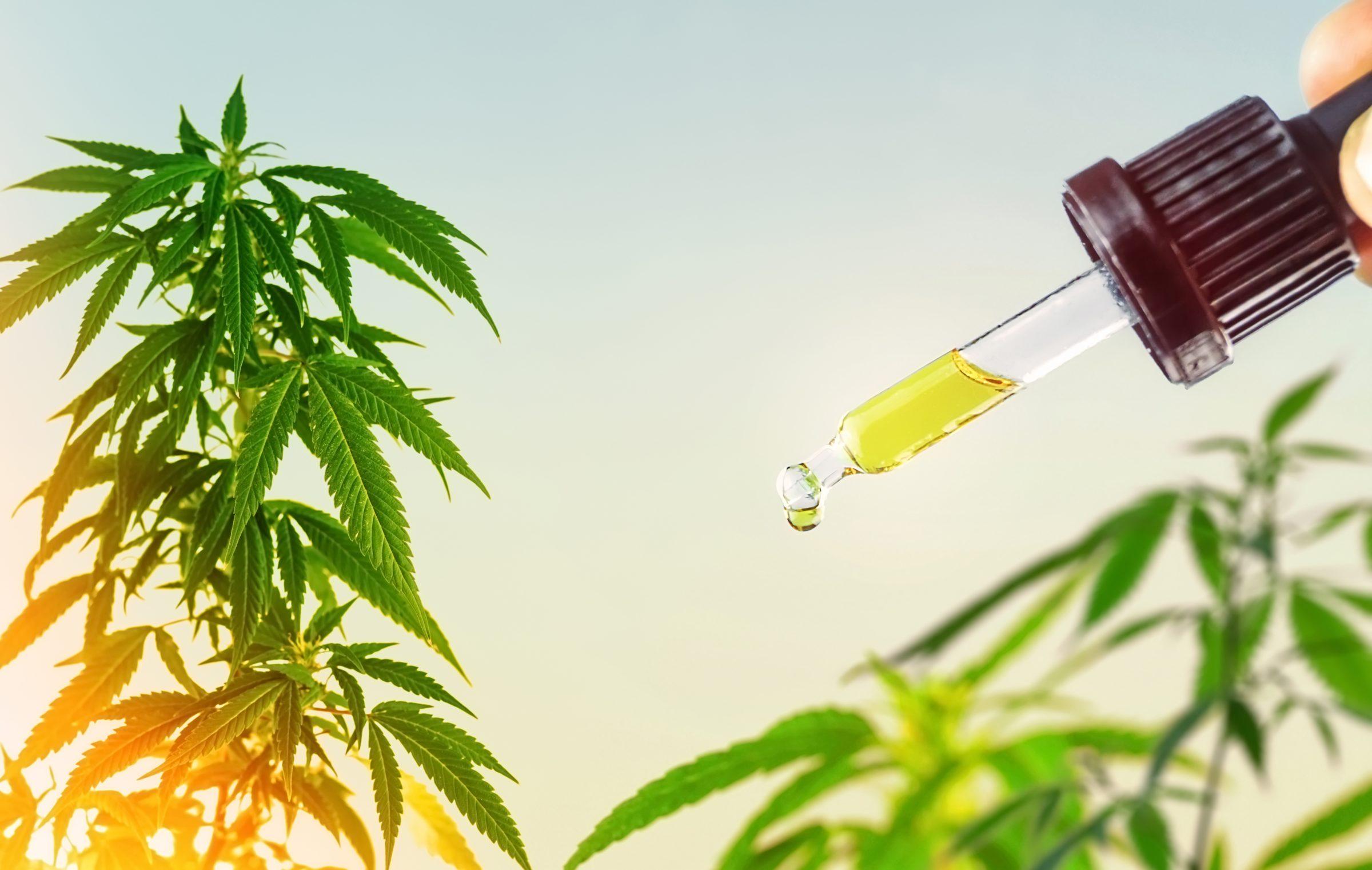 cbd oil against marijuana plants XFWFUCX