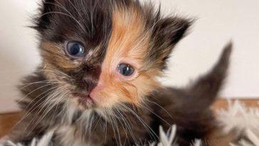 apricot chimera kitten 3