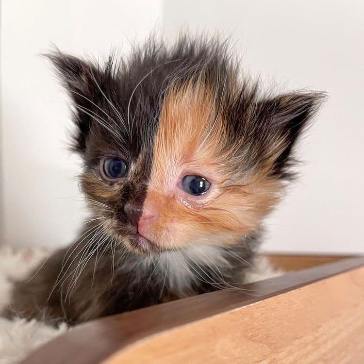 apricot chimera kitten 4
