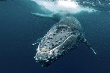 humpback whale E44QDRC