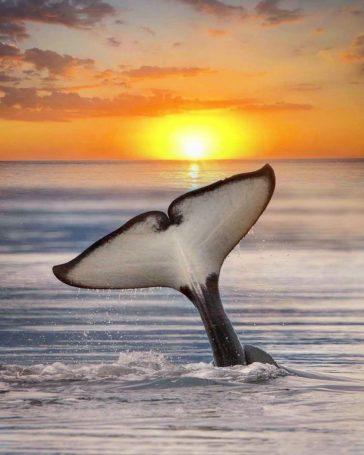 orca sunset marys mark photography 2