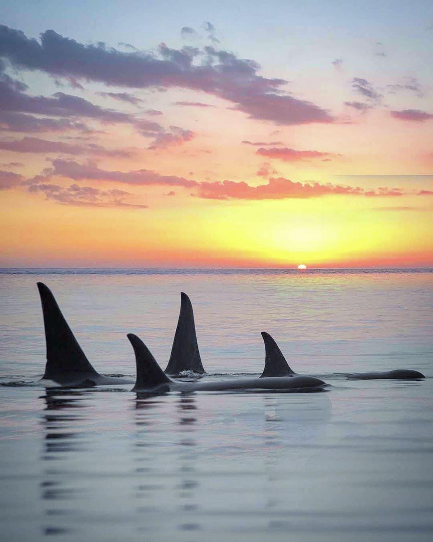 orca sunset marys mark photography 3
