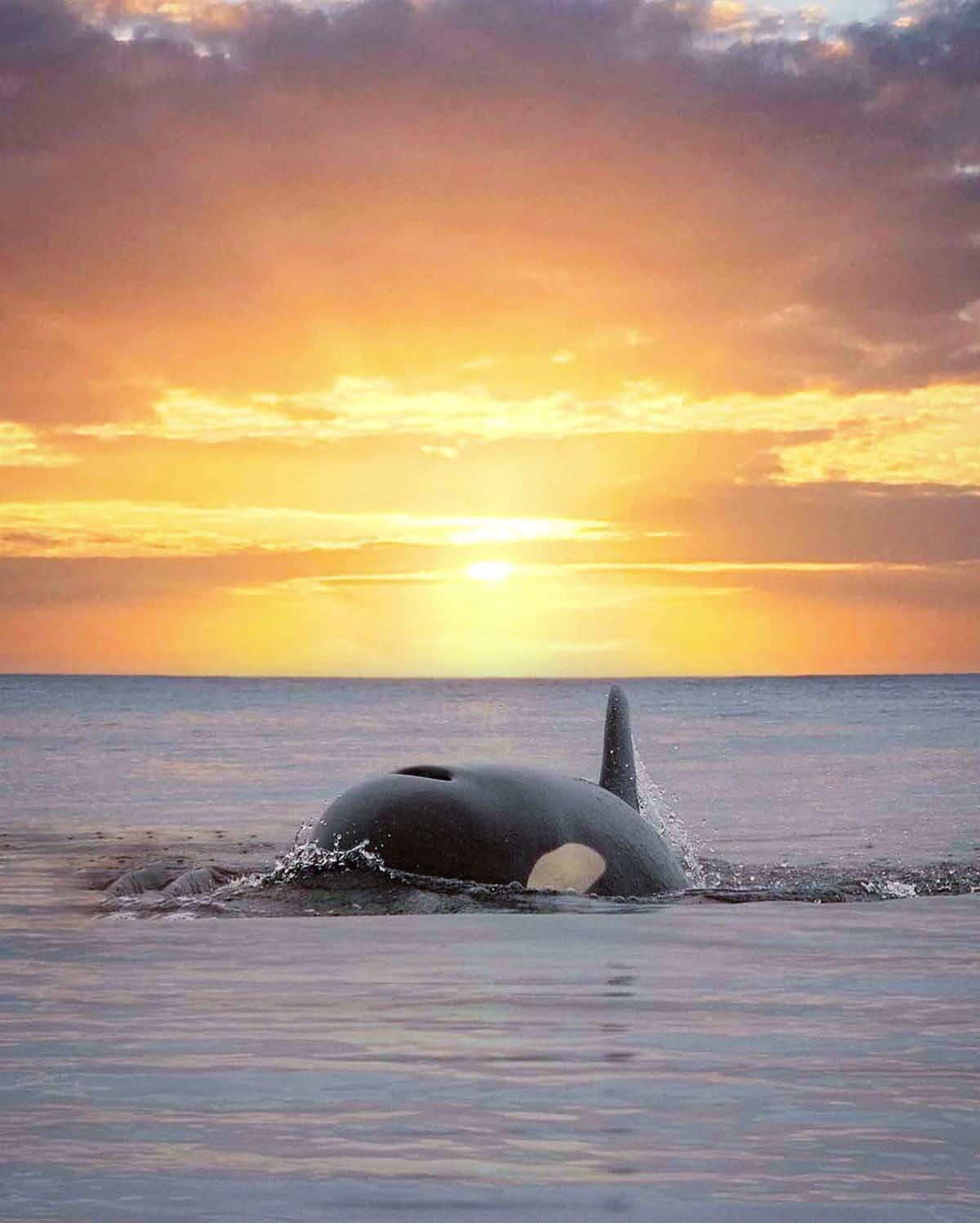 orca sunset marys mark photography 5