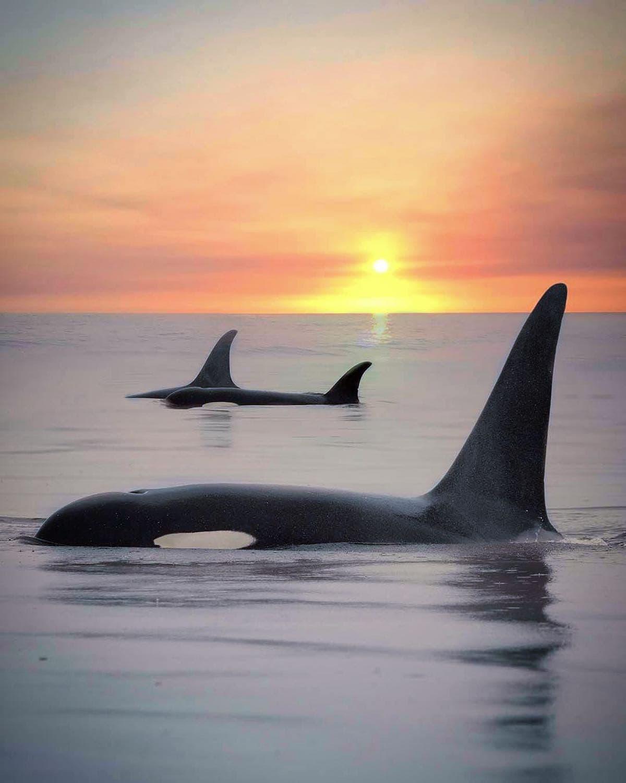 orca sunset marys mark photography 6