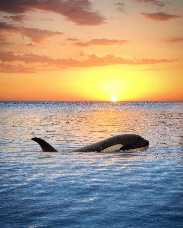 orca sunset marys mark photography 7