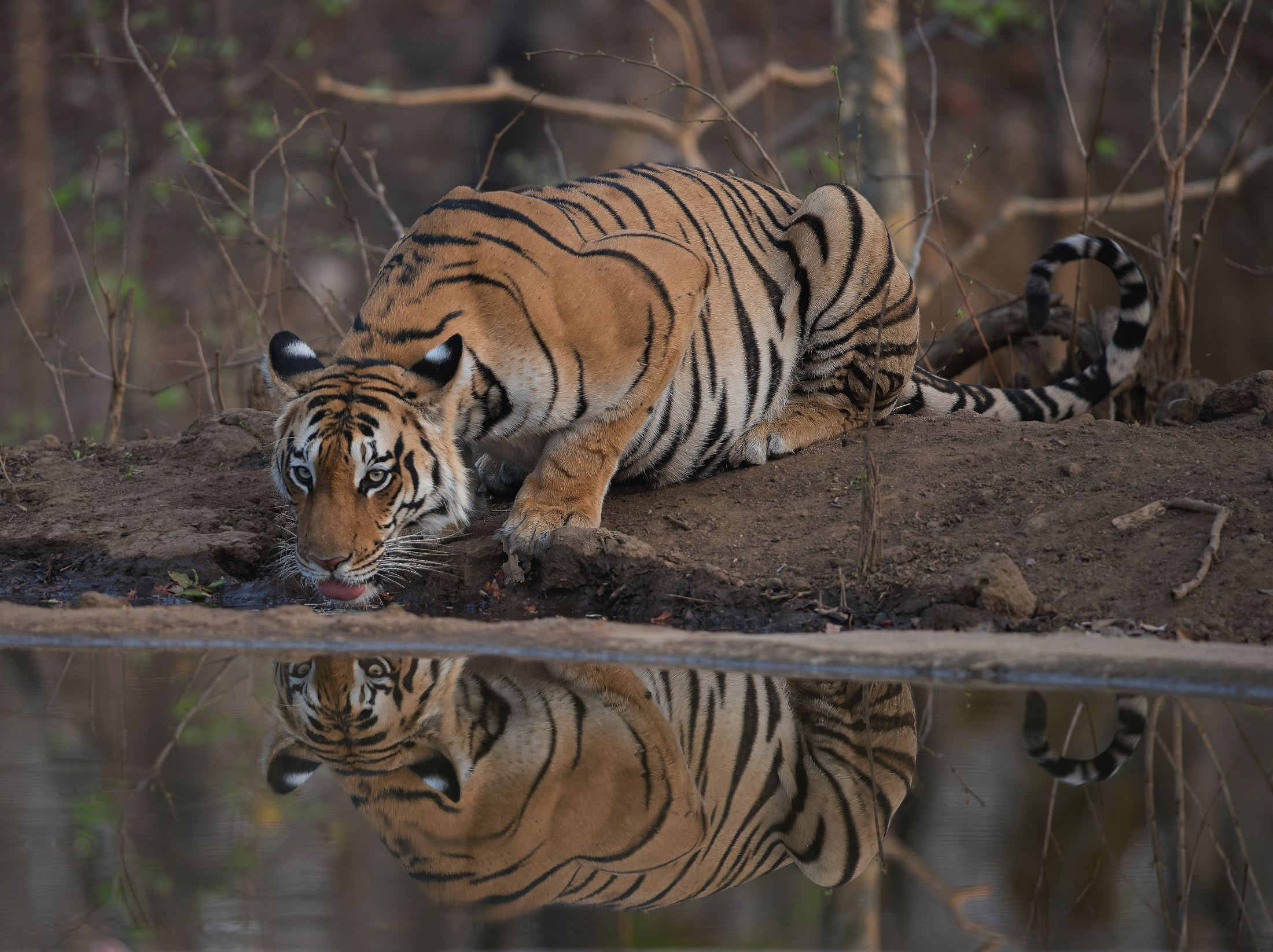 tiger lying on ground during daytime