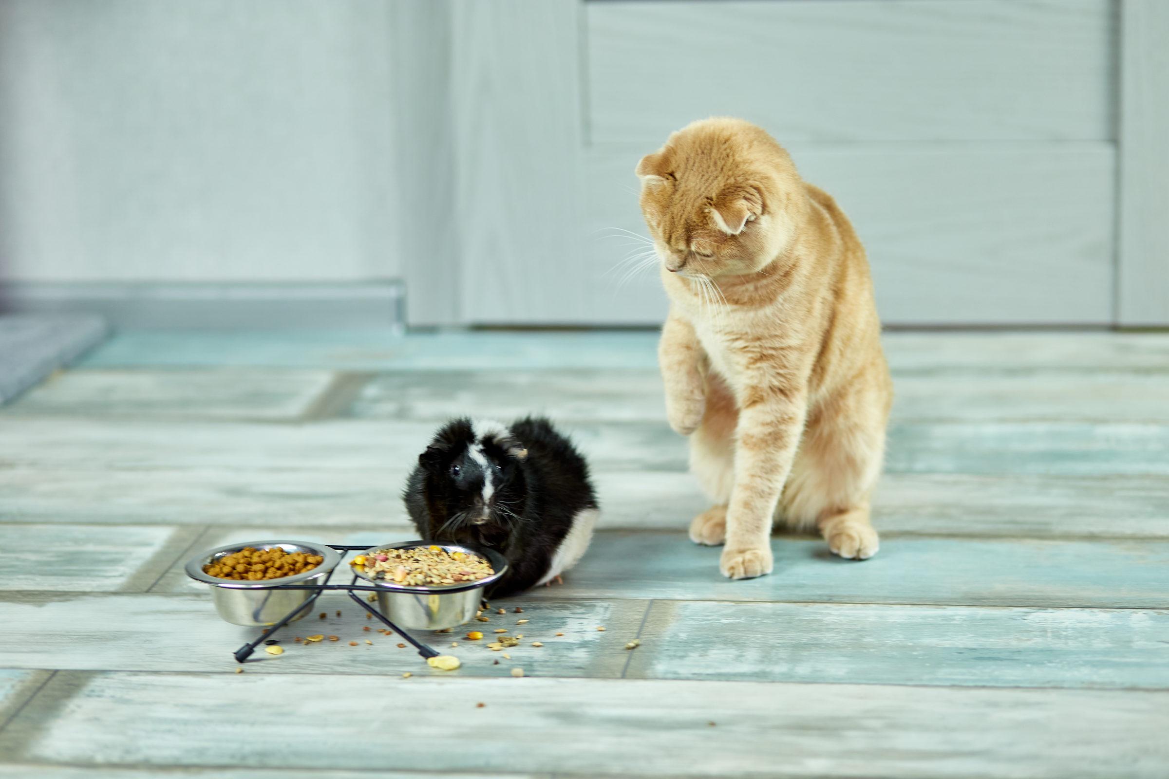 the cat look at a guinea pig domestic pet feeding 2021 04 06 19 41 21 utc